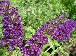 Black Knight Butterfly Bush (buddleja davidii)