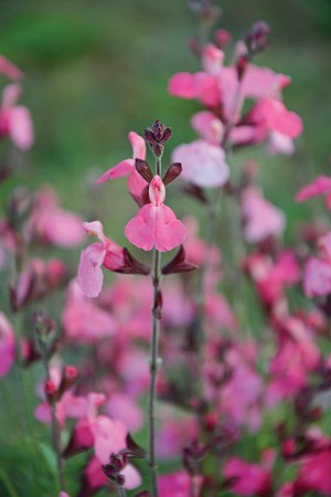 Suncrest Flamenco Rose Salvia