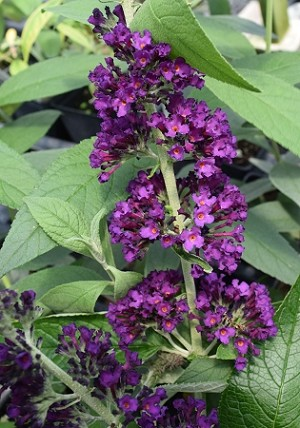 Black Knight Butterfly Bush (buddleia davidii)