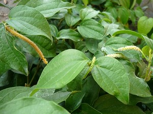 Black Pepper Vine