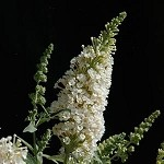 Buzz™ Ivory Buddleia  (Dwarf Butterfly Bush)