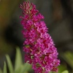 Buzz™ Magenta Improved Buddleia (Dwarf Butterfly Bush)