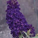 Buzz™ Midnight Buddleia (dwarf butterfly bush)