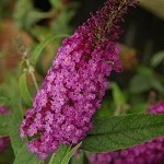 Buzz™ Purple Buddleia (Dwarf Butterfly Bush)