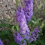 Buzz™ Sky Blue Buddleia (Dwarf Butterfly Bush)
