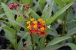 Silky Red Milkweed