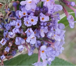 Ellen's Blue Butterfly Bush (Buddleia davidii)