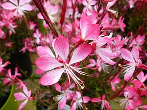 Indian Feather (Gaura) 'Little Janie""