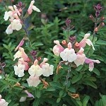 Suncrest Golden Girl Salvia