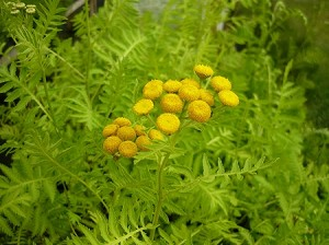 Gold Leaf Tansy 'Isla Gold'