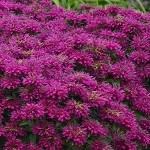 Sugar Buzz Grape Gumball Bee Balm