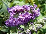 Griffin Blue Butterfly Bush - (buddleia davidii)
