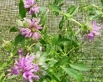 Lemon Bergamot (bee balm)
