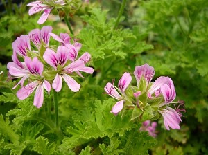 Little Gem Scented Geranium
