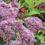 Joe Pye Weed - Little Joe
