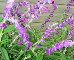 Mexican Bush Sage 'Midnight'   (salvia leucantha 'Midnight')