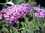 Nanho Purple Butterfly bush (buddleia davidii)