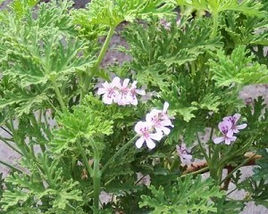 Old Fashioned Rose Scented Geranium