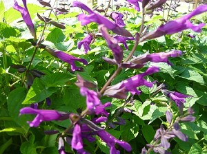 Purple Majesty Salvia