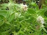 Hairy Mountain Mint