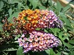 Bi-Color Butterfly Bush (Buddleia x weyeriana)