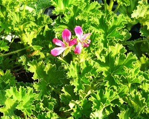 Pineapple (Brilliant) Scented Geranium