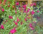 Raspberry Royale Salvia (autumn sage)