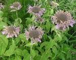 Rose Scented Bee Balm (bergamot)