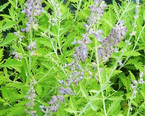 Russian Sage (crazy blue)
