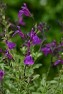 Mirage™ Deep Purple Salvia