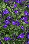 Mirage Blue Salvia