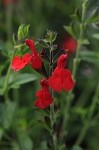 Radio Red Salvia