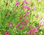 Plum Wine Salvia