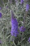Monarch® Blue Knight Buddleia