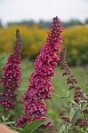 Monarch® Prince Charming Buddleia