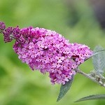 Buzz™ Soft Pink Buddleia (Dwarf Butterfly Bush)