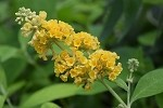 Honeycomb Butterfly Bush (Buddleia weyeriana)