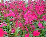 Mirage™ Hot Pink Salvia