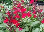 SPECIAL SALE!  Furman's Red Salvia - 8 live plants