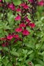 Mirage™ Burgundy Salvia