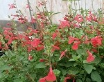 Silke's Dream Salvia
