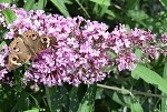 Summer Beauty Butterfly Bush (buddleia davidii)