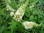 White Profusion Butterfly Bush (Buddleia Davidii)